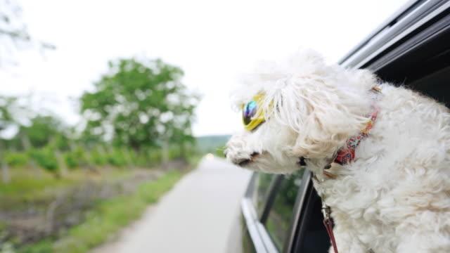 weißer flauschiger pudel, der den kopf aus einem fahrenden auto klebt und eine schützende sonnenbrille trägt. - schutzbrille stock-videos und b-roll-filmmaterial