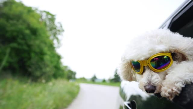 white fluffy poodle sticking head out of a moving car, wearing protective sunglasses - dog hair stock videos and b-roll footage