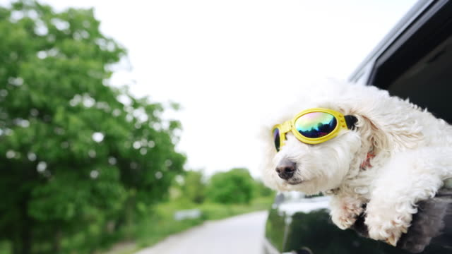 white fluffy poodle sticking head out of a moving car, wearing protective sunglasses - satisfaction stock videos & royalty-free footage
