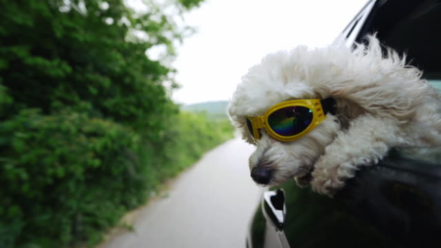 vídeos de stock e filmes b-roll de white fluffy poodle sticking head out of a moving car, wearing protective sunglasses - perigo