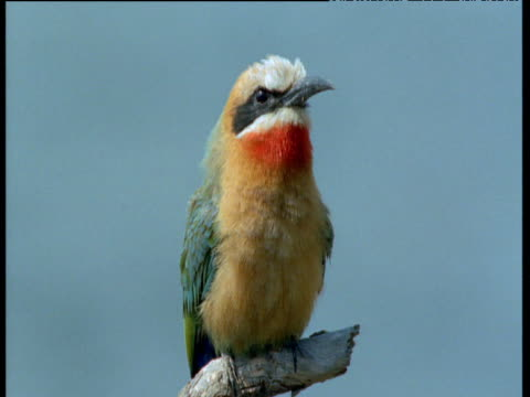 white fronted bee-eater perched on branch, sings and preens - 姿勢をとる点の映像素材/bロール
