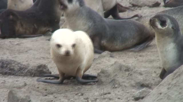a white fur seal wanders through a colony on a rocky beach. available in hd. - gråsäl bildbanksvideor och videomaterial från bakom kulisserna