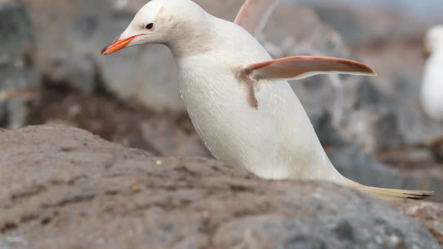 A white Gentoo Penguin (with leucism) walking up to its nest in Antarctica