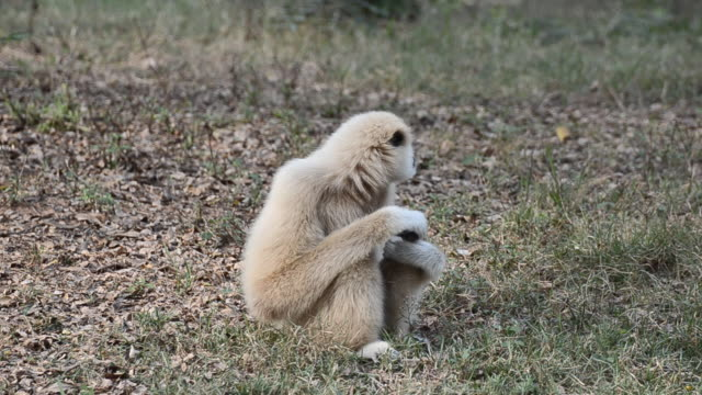 white gibbon - primate stock videos and b-roll footage