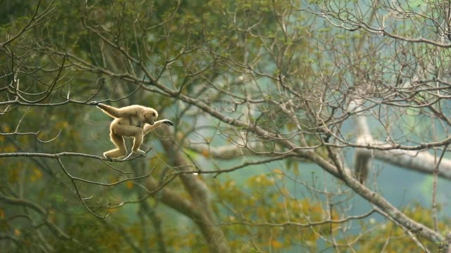 white gibbons a jumping in the trees at nature , slow motion - endangered species stock videos & royalty-free footage