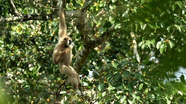 white gibbons in the nature, animal in the wild, slow motion - ape stock videos & royalty-free footage