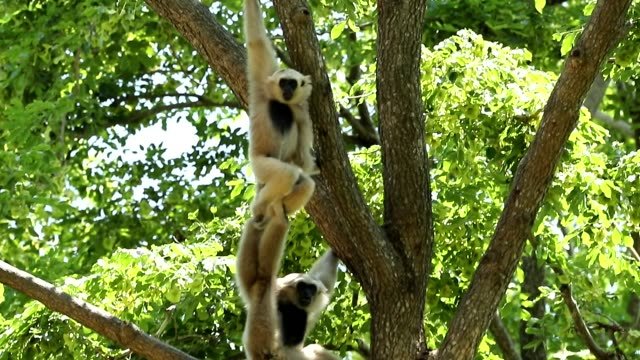 White gibbons in the nature, slow motion