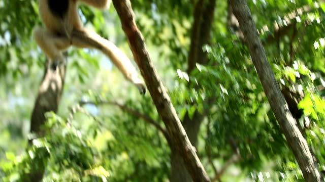 stockvideo's en b-roll-footage met witte gibbons in de natuur, slow-motion - langzaam