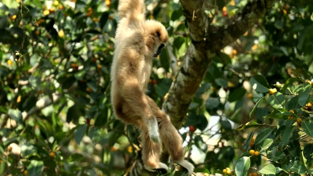 white gibbons in the nature - animals in the wild stock videos & royalty-free footage