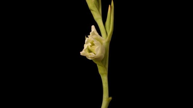 white glad - gladiolus stock videos & royalty-free footage