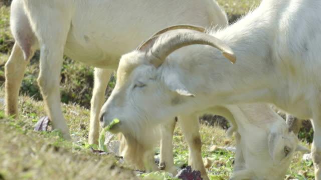 white goat feeding - smirking stock videos and b-roll footage