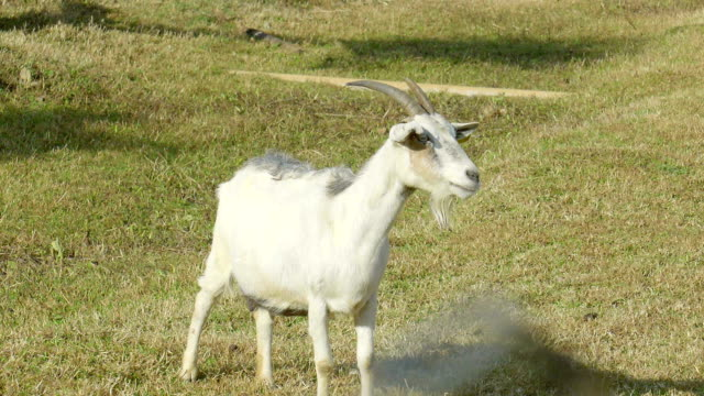 a white goat standing on the farm seems looking for something - smirking stock videos and b-roll footage