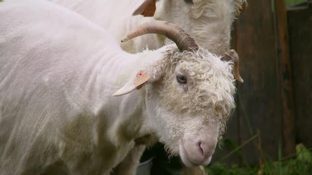 vidéos et rushes de white goats - mammifère ongulé