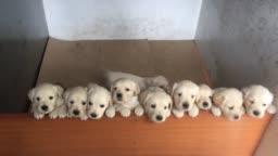 White Golden Retriever Puppies in Litter Whelping Box