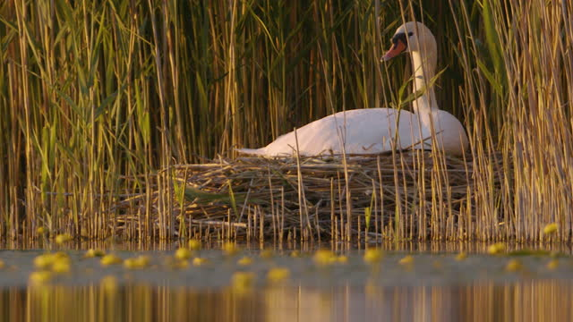 white goose sitting on its nest in tall grass by a lake - ネイチャーズウィンドウ点の映像素材/bロール