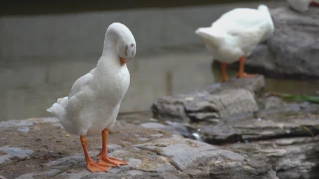 weiße gans aufräumen federn - tierflügel stock-videos und b-roll-filmmaterial