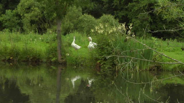 WS White gooses by lake / Hadamar, Hessen, Germany