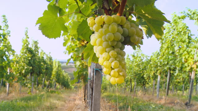 HD DOLLY: White Grape Hanging From Vine