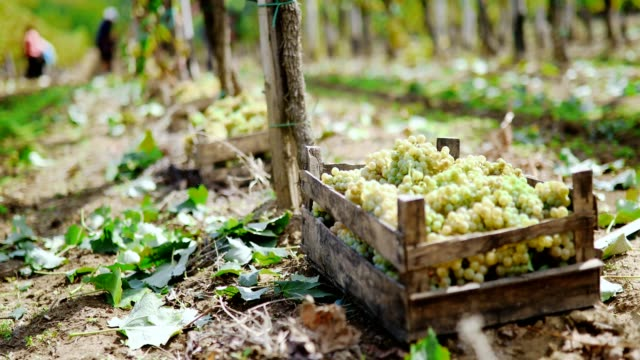 White grape harvest