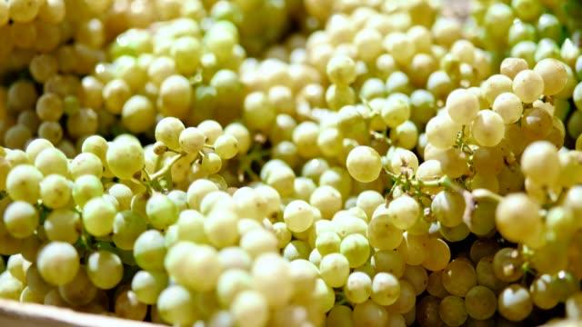White grape harvest