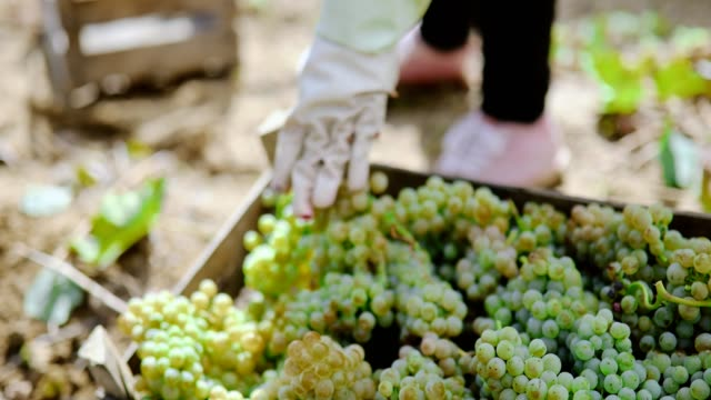 white grape harvest - grape stock videos & royalty-free footage