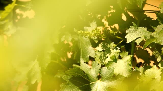 CU PAN White grape vineyard/ Cape Town/ South Africa
