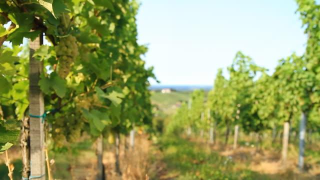 HD DOLLY: White Grape Vineyard