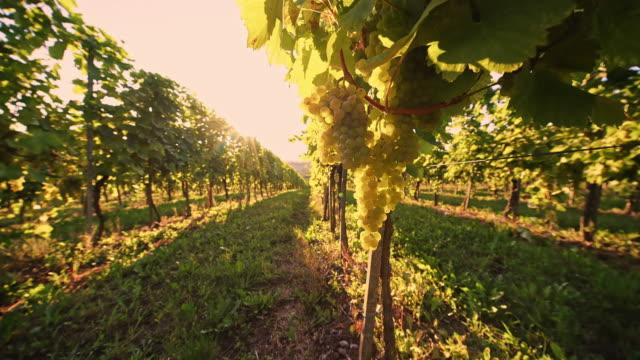 DS White grape vineyard