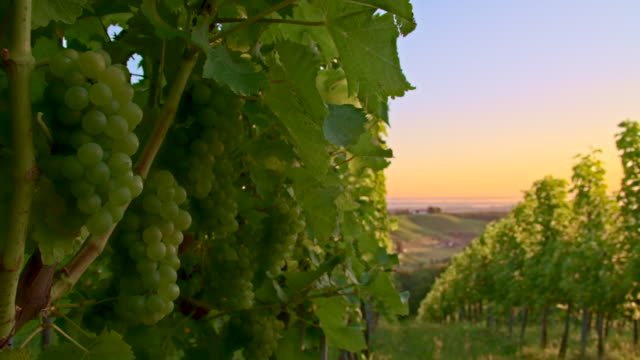MS DS White Grape Vineyard