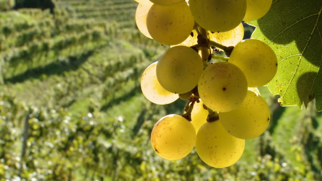 hd: white grape with leaf and vineyard - grape leaf stock videos and b-roll footage