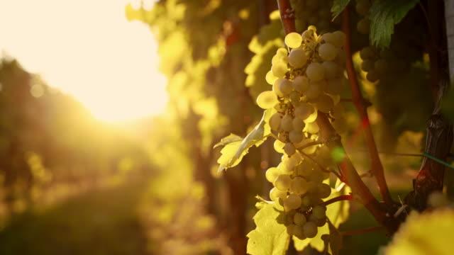 White grapes against the sunlight
