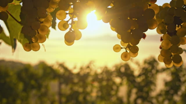 ds cu white grapes against the sunrise sunlight - bunch stock videos and b-roll footage