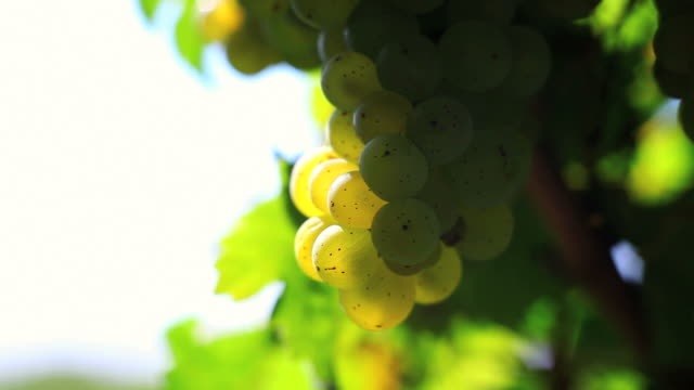 White Grapes Close Up