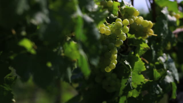 pan white grapes close-up - frische stock videos & royalty-free footage