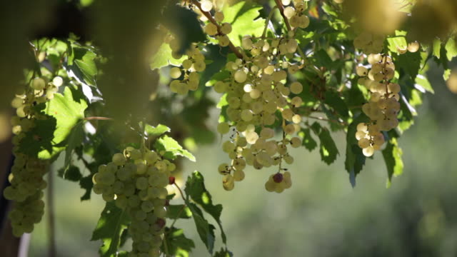 white grapes in a vineyard - vine stock videos & royalty-free footage