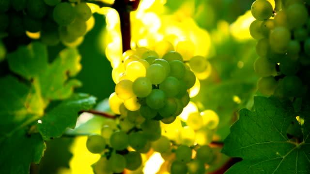 Weiße Trauben in der Sonne Schwenk nach oben