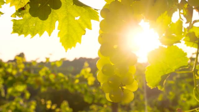 CU DS weiße Trauben In der Sonne