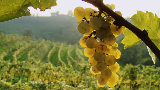 hd dolly: white grapes in vineyard - vine plant stock videos & royalty-free footage