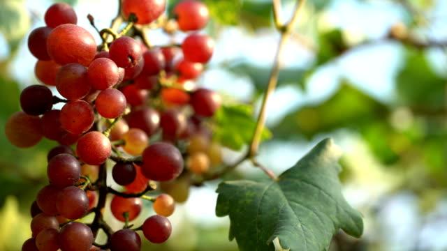 vídeos de stock e filmes b-roll de white grapes in vineyard - ramo parte de uma planta