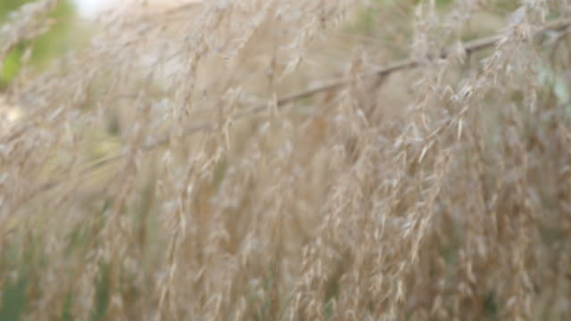 white grasses flower sway with the wind - nature reserve stock videos & royalty-free footage