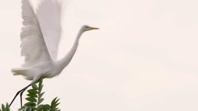 ms white great egret taking flight,sri lanka - crane stock videos & royalty-free footage