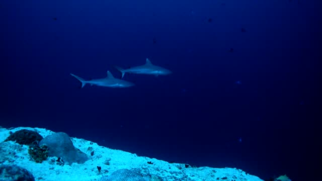 White grey shark swimming while diving in Maldives
