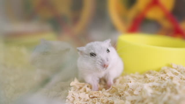 white hamster mouse in  pet adoption shop - domestic animals stock videos & royalty-free footage