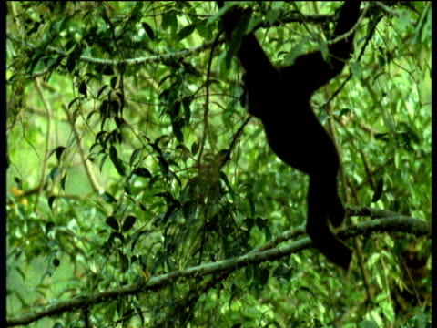 White handed gibbon swings through trees, Malaysia