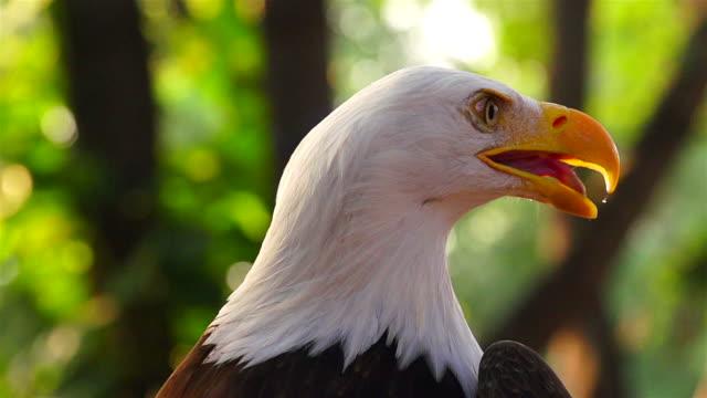 White Head Eagle Head In Slow