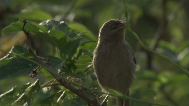 a white headed jungle babbler chirps and ruffles its feathers in a leafy mangrove tree in the sundarbans forest in bangladesh. available in hd. - birdsong stock videos & royalty-free footage