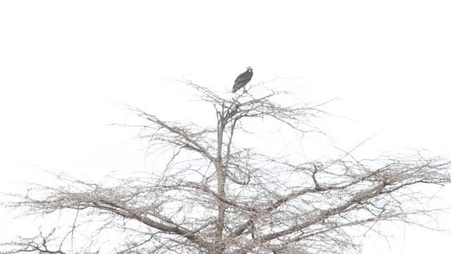 vídeos y material grabado en eventos de stock de white headed vulture in treetop - wiese