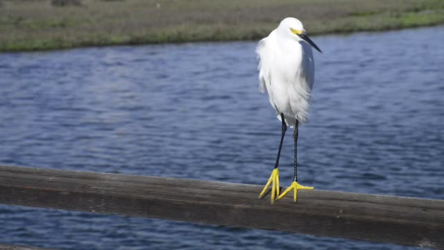 white heron bird standing on a fence - huntington beach california stock videos and b-roll footage