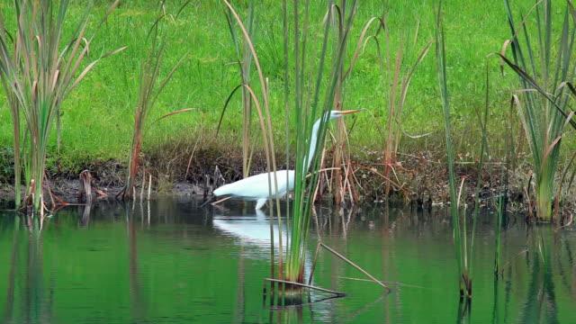 white heron on the shoreline - heron stock videos & royalty-free footage