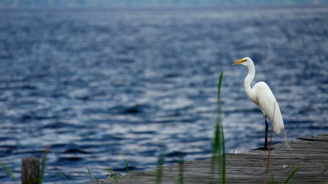 white heron - bunter reiher stock-videos und b-roll-filmmaterial